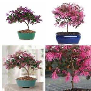 Fringe Flower Bonsai